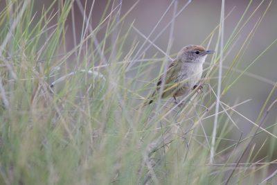 Spinifexbird (Eremiornis carterialice) - Alice Springs, NT