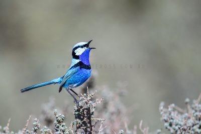 Splendid Fairy-wren - Male Singing.