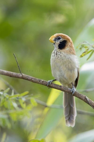 Spot-breasted Parrotbill3