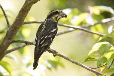Spot-winged Grosbeak (Mycerobas melanozanthos).