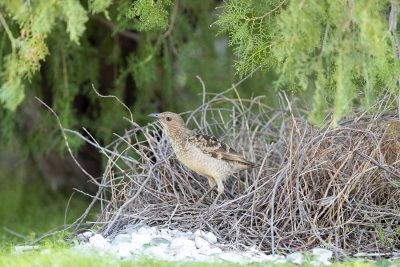 Spotted Bowerbird - At Bower