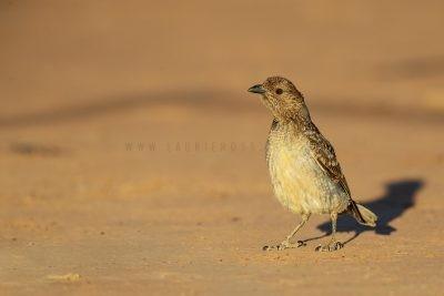 Spotted Bowerbird (Chlamydera maculata).1
