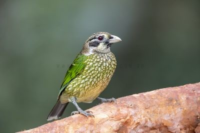 Spotted Catbird (11)