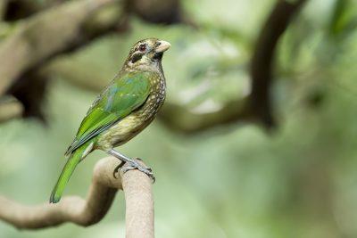 Spotted Catbird (Ailuroedus Melanotis Maculosus)