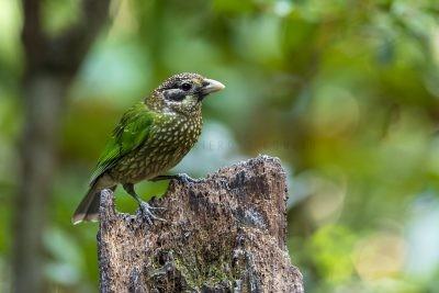 Spotted Catbird (Ailuroedus melanotis maculosus).1