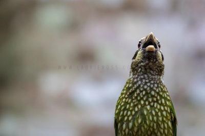 Spotted Catbird - Calling (Ailuroedus melanotis maculosus)