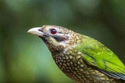 Spotted Catbird - Portrait (Ailuroedus melanotis maculosus)