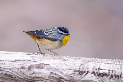 Spotted Pardalote - Male.1