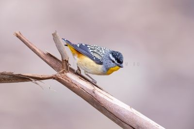 Spotted Pardalote - Male.2