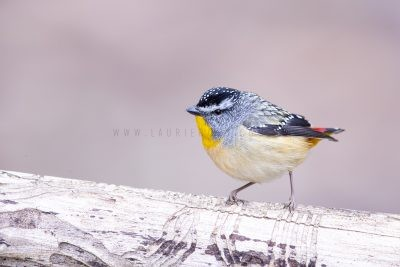 Spotted Pardalote - Male.3