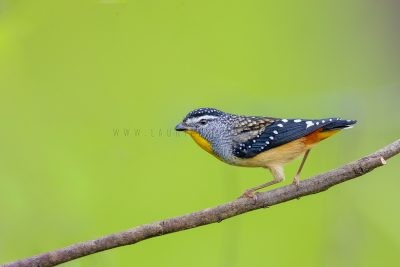 Spotted (Wet Tropics) Pardalote.