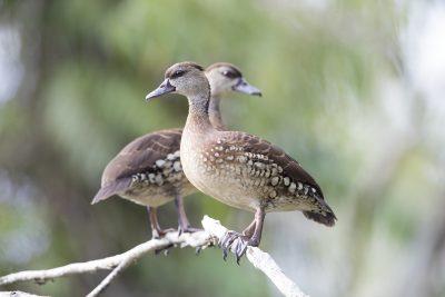 Spotted Whistling Duck (Dendrocygna guttata)