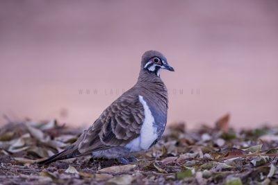 Squatter Pigeon.1