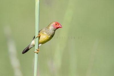 Star Finch - Male