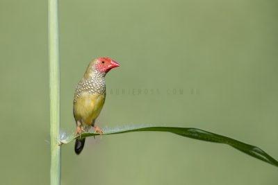 Star Finch - Male.