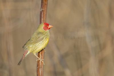 Star Finch - Male (Neochmia ruficauda subclarescens)1