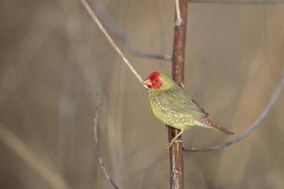 Star Finch - Male (Neochmia ruficauda subclarescens)2