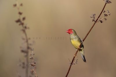 Star Finch - Male (Neochmia ruficauda subclarescens)4
