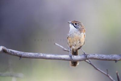 Striated Grasswren - Male (A.s.striatus)