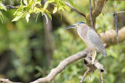 Striated Heron - Adult (Butorides Striatus Stagnatilis) - Buffalo Creek, NT