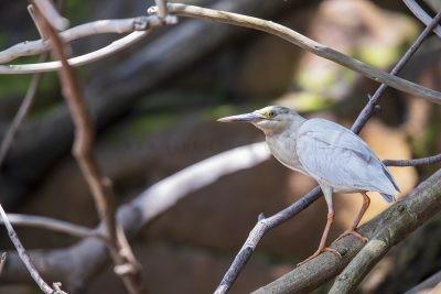 Striated Heron (Leucistic).