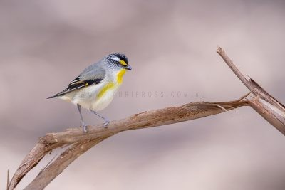 Striated Pardalote - Male.
