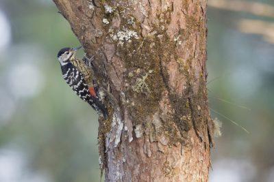 Stripe-breasted Woodpecker (Dendrocopos atratus)
