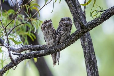 Tawny Frogmouth - Landscape