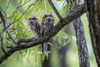 Tawny Frogmouth Panoramic.