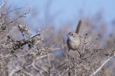 Thick-billed Grasswren | A.m.cowarie.1