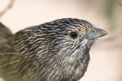 Thick-billed Grasswren - Head Shot (A.m.obscurior)
