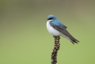 Tree Swallow (Tachycineta bicolor)1