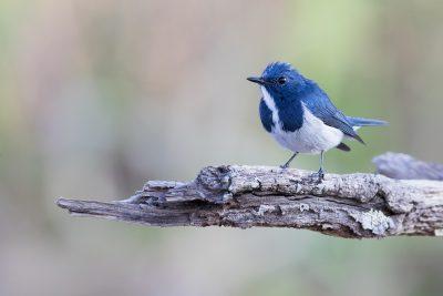 Ultramarine Flycatcher - Male (Bambusicola fytchii)