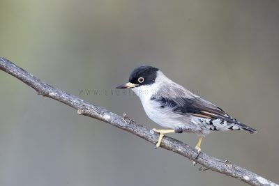 Varied Sittella - Female. (Black-capped)