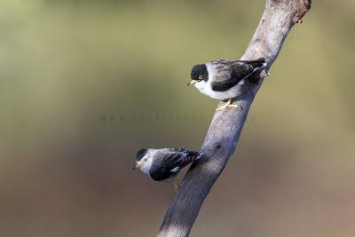 Varied Sittella - Pair (Daphoenositta chrysoptera leucoptera)1