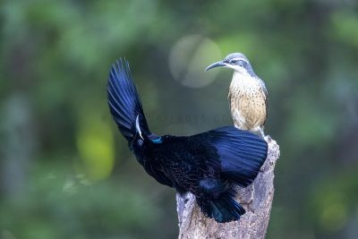 Victoria's Riflebird (137)