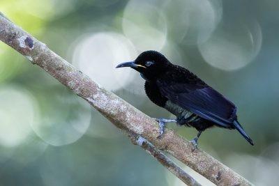 Victoria's Riflebird - Male.