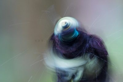 Victoria's Riflebird - Male Art