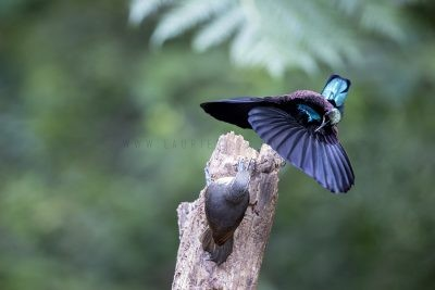 Victoria's Riflebird - Male displaying to Female