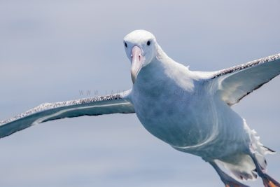 Wandering Albatross - Portrait