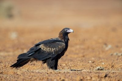 Wedge-tailed Eagle (Aquila audax audax)
