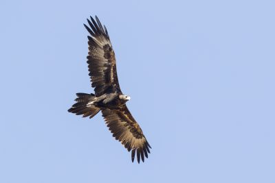 Wedge-tailed Eagle - In Flight (Aquila audax)