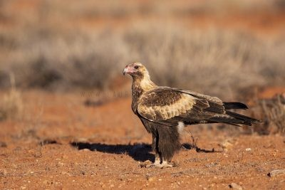 Wedge-tailed Eagle - Juvenile