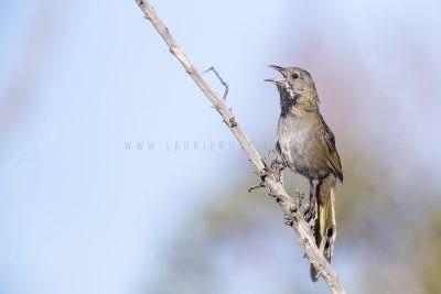 Western Whipbird | Psophodes nigrogularis oberon