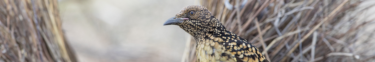 western-bowerbird-male-at-bower-alice-springs-nt