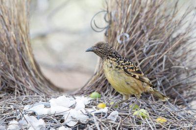 Western Bowerbird - Male at Bower (Ptilonorhynchus guttatus guttata) - Alice Springs, NT