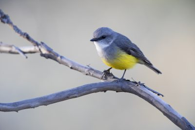 Western Yellow Robin (Eopsaltria griseogularis griseogularis)