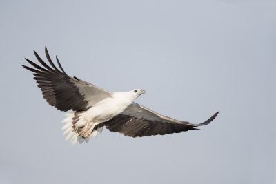 White-bellied Sea Eagle - In Flight (Haliaeetus leucogaster) - Yellow Waters, NT