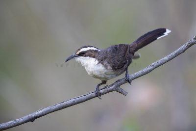 White-browed Babbler (Pomatostomus superciliosus gilgandra)