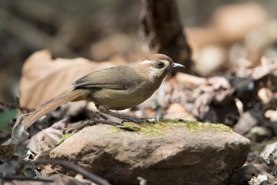 White-browed Laughingthrush LIanthocincla sannio)